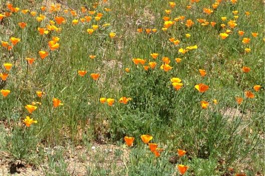 poppy hill